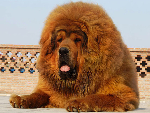 le zoo chinois qui a remplac un lion par un chien ferme ses portes. Black Bedroom Furniture Sets. Home Design Ideas