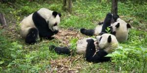 groupe de panda en liberté
